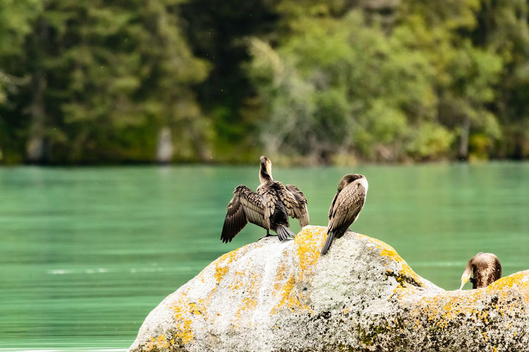 Three Cormorants Perching On Rock Against Lake