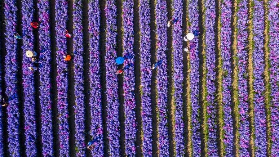 Aerial view margaret flower field, rows of margaret or marguerite flower,  thailand.