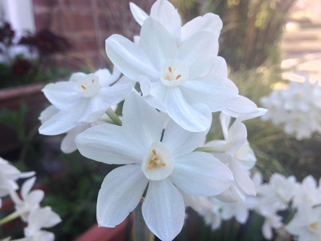 Narcissus Paperwhite Growing Our Own