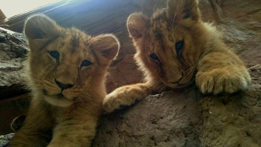 Lion Lion Cubs