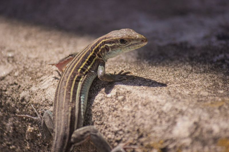 Lizard giving a cheeky look from behind. EyeEm Selects Reptile Lizard Animal Themes Animal Wildlife Animal One Animal Close-up Nature Selective Focus No People Looking Outdoors Side View Vertebrate Day Sunlight Animals In The Wild