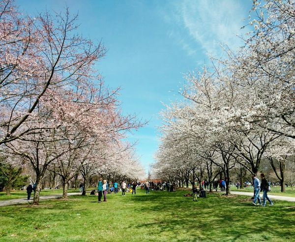 Spring is here!! Trees Cherryblossoms Cherryblossomtrees Pinktrees Whitetrees Pinkflowers Whiteflowers Japanesecherryblossom Spring Flowers Flowertree Flowertrees Beauty In Nature Withpeople EyeEmNewHere