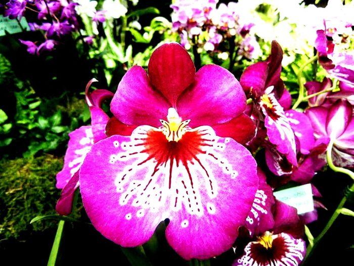 Orchid Miltoniopsis Newton Falls Taking Photos Taking Photos