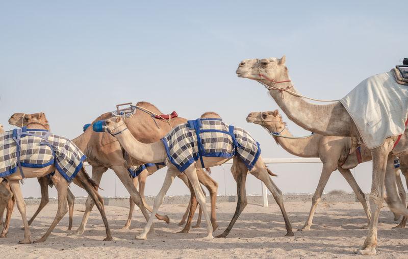 View of horses in desert against clear sky