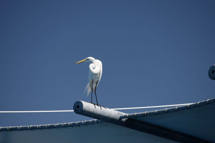 Low angle view of great egret against clear blue sky on sunny day