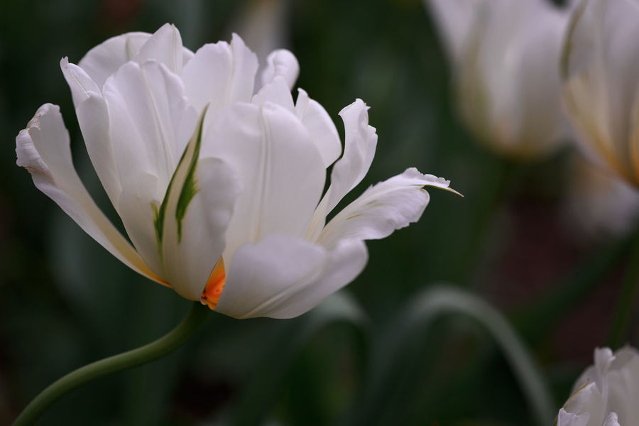 White Tulip Full Of Expression Copy Space Emotions Germany 🇩🇪 Deutschland Tulips Tulpe Close-up Expression Expressivity Feelings Floral Focus On Foreground Fragility Freshness Garden Show Gartenschau Geometry Geometry In Nature Growth Outdoors Passion Selective Focus Spring Story Tulipan White Flower
