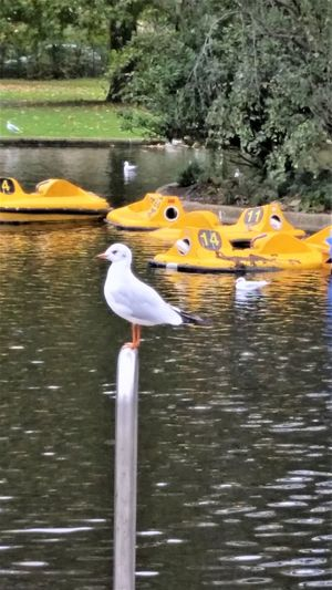 October Animals In The Wild Bird Boats And Water Day Floating Floating On Water Funny Bird Photo Greenery Lake Nature No People On A Stick Outdoors Pond Life Reflection Regents Park Seagull Sitting Alone Swimming Two Animals Vertebrate Water Waterfront