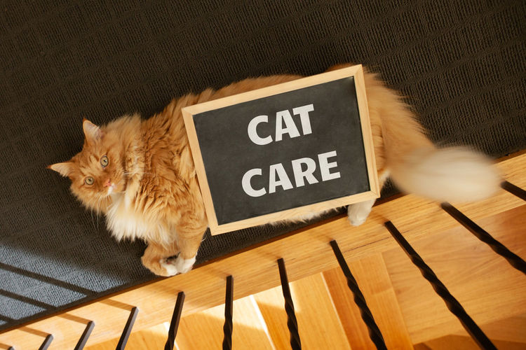 Animal Fluffy Fur Looking Adorable Adult BIG Blackboard  Care Caring Cat Chalk Chalkboard Clean Closeup Concept Conceptual Cute Discussion Domestic Eyes Face Feline Ginger Issues Message Orange Paw Pet Serious Text Typography