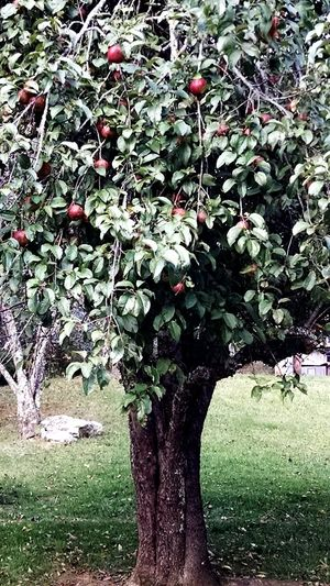 Nature Tree Beauty In Nature Outdoors Apple Tree Apple - Fruit Colours Of Nature Red Color Fruit Photography Tree Photography Apple Photography EyeEm Ready   An Eye For Travel
