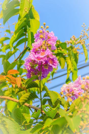 Purple flowers and green leaf of queen's flower (Lagerstroemia speciosa) on tree with blue sky background. Lagerstroemia Flower Lagerstroemia Speciosa Lagerstroemia Indica Lagerstroemia Speciosa (L) Pers. Lagerstroemia Speciosa Fl Lagerstroemia Speciosa Flower Lagerstroemia Speciosa Pers. Queen's Flower Beauty In Nature Blue Sky Blue Sky And Clouds Blue Sky Background Blue Sky With Clouds Bluesky Bunch Of Flowers Close-up Day Flower Flower Head Flowering Plant Fragility Freshness Growth Inflorescence Lagerstroemia Lantana Leaf Lilac Nature No People Petal Pink Color Plant Plant Part Purple Sky Springtime Vulnerability