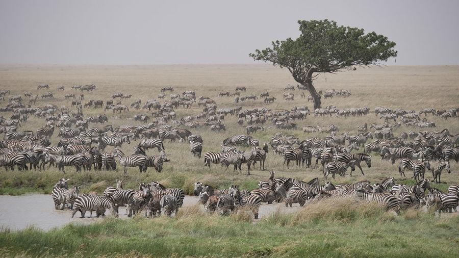 Zebras in the