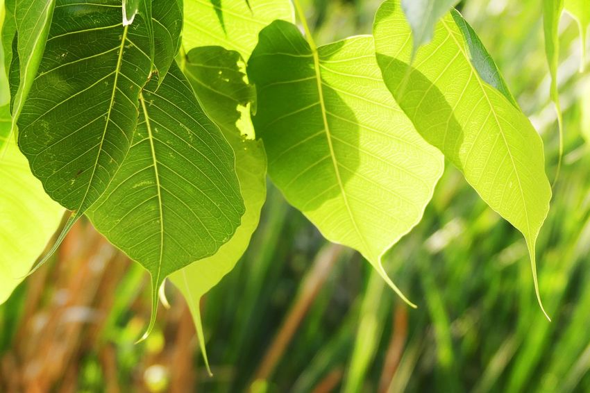 Close up of Buddhism Leaves Fresh Background Outdoor Bodhi Leaf Buddhism Close-up Day Nature No People Tree Leaves
