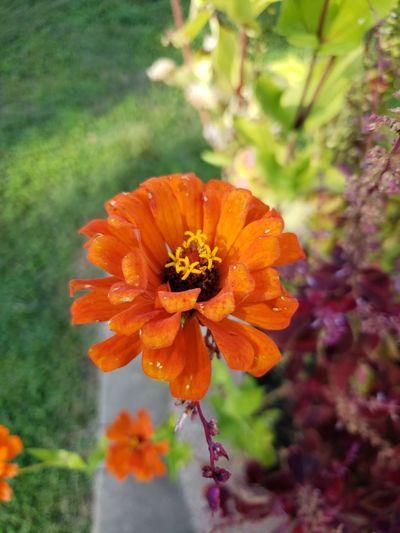Flower Head Flower Poppy Rural Scene Petal Multi Colored Summer Nature Reserve Close-up Plant