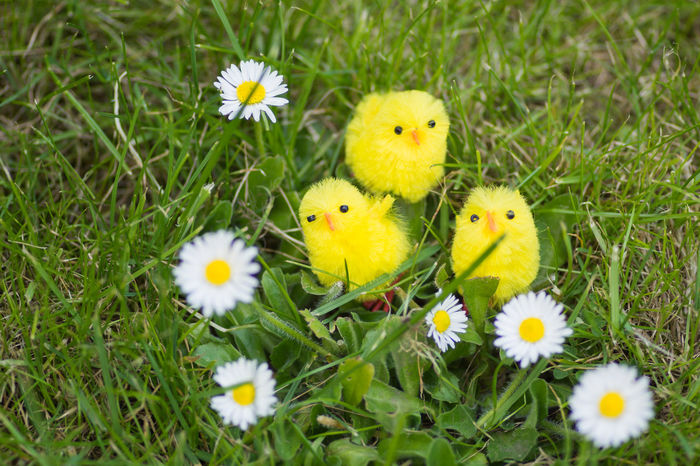 Daisy & easter chicks with green grass as a backdrop also basket of daffodils Daffodils Daisy Day Easter Chicks Garden Green Grass Lush Foliage Outdoors Outdoors Photograpghy  Park Rural Scene White Petals Yellow
