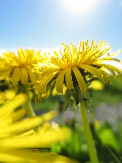 Dandelion Close Up Yellow Flower Shallow Depth Of Field Nature Walking Ascension Day