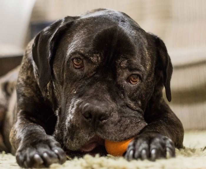 Animal Themes Big Dog Posing For The Camera Black Color Black Labrador Brindle Dog Cane Corso Playing Cane Corso Puppy Close-up Day Dog Dogs Dogs Toy Domestic Animals His Orange To Indoors  Mammal My Best Friend No People One Animal Pets Playful Mood Playful Pups