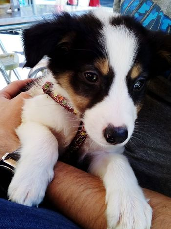 In Arms Pets Animal Themes Domestic Animals Dog Mammal Human Body Part Fluffy Lovely Cute Pets Tricolor Collie Bordercollie  Tricolor Dog Border Collie Mascotas 🐶 Puppy Animal Peluche Perrito Perro Sheltie Sheltiesheepdog Portrait Little Dog