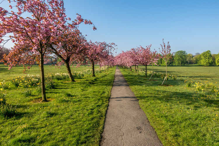 The Stray, Harrogate, North Yorkshire, UK. Harrogate Harrogate, UK North Yorkshire Park Cherry Cherry Blossom Cherry Blossoms Cherry Tree Cherryblossom Tree Trees Parkland Grassy Grassland Yorkshire Flower Flowers Plant Beauty In Nature Nature No People Outdoors Scenic Scenic View