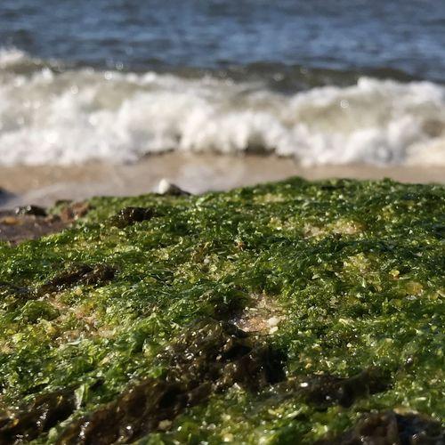 Beatch Algae