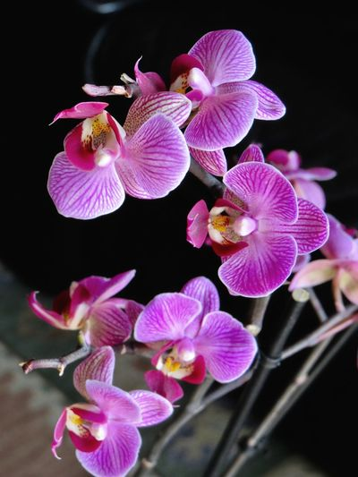 Mi orquídea hoy ... Flower Black Background Beauty In Nature Flower Head Purple Underwater Nature Fragility Plant Multi Colored Orchid Pink Color Close-up
