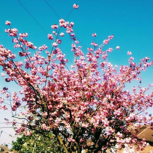 Nature Treeart Blossom TreePorn Photography Picsart Sky Eyeem Photo Flowers :) Oneplusphotograpgy Oneplusone Oneplus One Camera