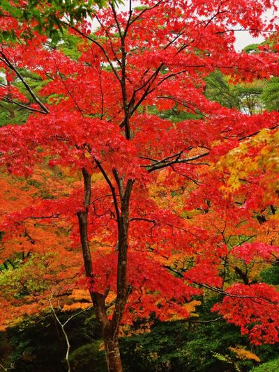 Autumn Change Tree Leaf Orange Color Nature Beauty In Nature Forest Outdoors Red No People Maple Tree Maple Leaf Branch Day Scenics Autumn🍁🍁🍁 Landscape Beauty In Nature Amazing Amazing Nature Beautiful Nature Autumn Leaves Landscape_Collection Beautiful