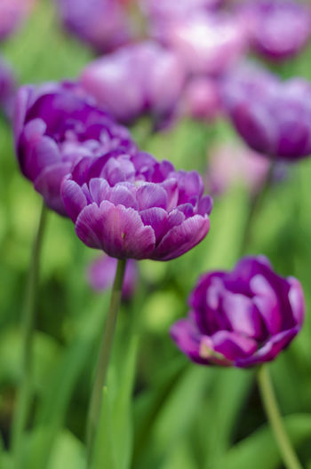 Flowering Plant Flower Plant Freshness Beauty In Nature Vulnerability  Fragility Close-up Growth Petal Purple Nature Inflorescence Flower Head No People Selective Focus Day Focus On Foreground Springtime Outdoors Softness Flowerbed