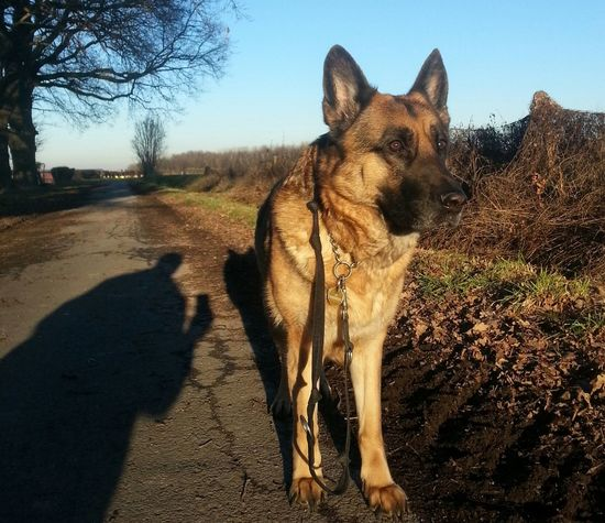 Mein Lieblings Modell ... One Animal Animal Themes Sunlight Shadow Pets Domestic Animals Dog Mammal Tree Outdoors No People Nature Day Sky Close-up German Shepherd Low Angle View New On Eyem