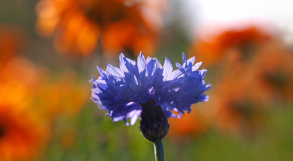 Blume Blooming Blue Close-up Colorful Cornflower Cornflower Blue Flower Flower Head Focus On Foreground Kornblume Macro Nature Outdoors Plant Red Color