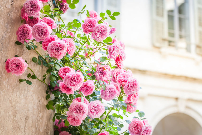 Copy Space Patio Retro Architectue Architecture Beauty In Nature Climbing Column Flower Arrangement Flowering Plant Italian Italy No People Outdoors Pink Color Plant Rose - Flower Roses Vintage