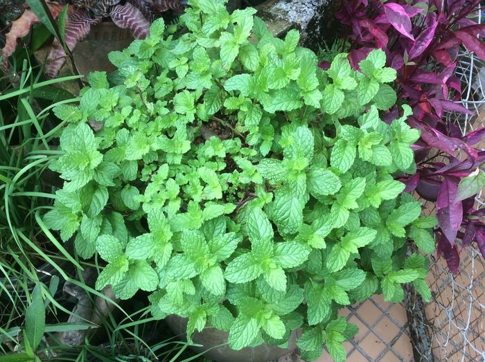 Pudina Pudina_leaf Growth Green Color Plant Nature Leaf Outdoors Botany Beauty In Nature High Angle View Fragility Day No People Freshness Close-up Garden Herbs In The Garden Home Garden Mint Leaf - Culinary Mint