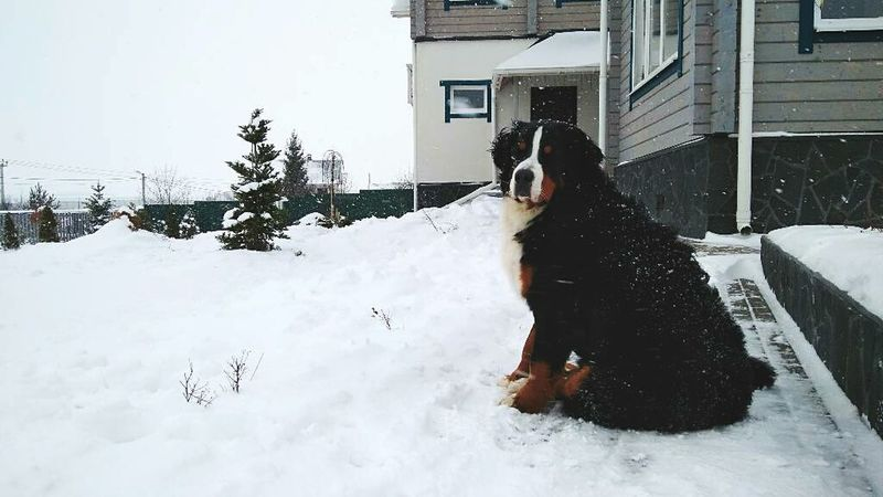 Bernese Mountain Dog Bernersennenhund Bernesemountaindog Snow Dog Winter Architecture Cold Temperature Outdoors Bernersennen Berner Pets Dogs