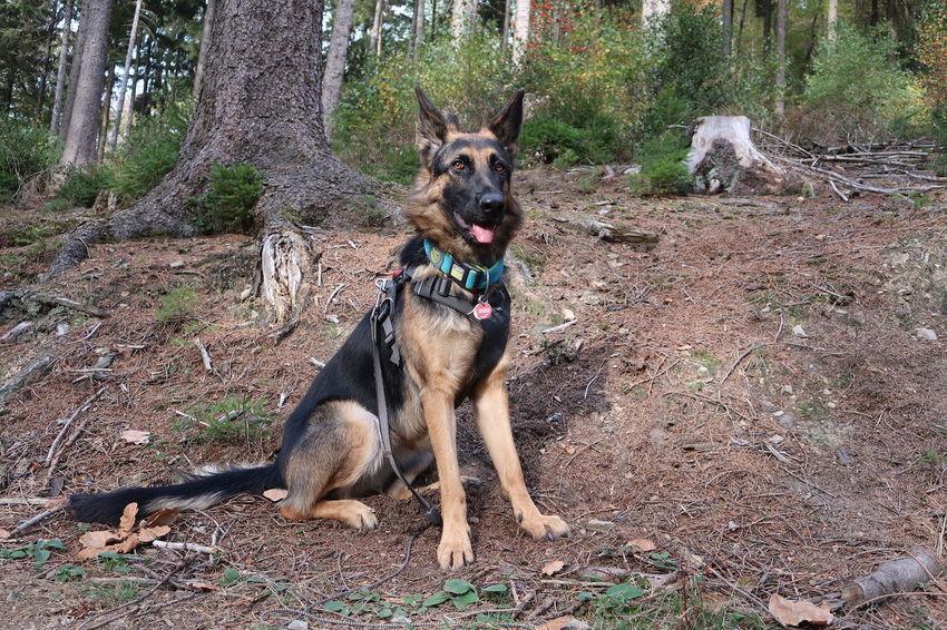 Tree Pets Dog Portrait Forest Full Length German Shepherd Animal Tongue Animal Mouth Animal Nose