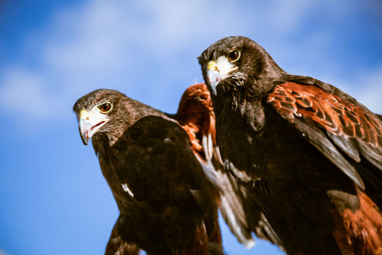 pair of eagles under blue sky Day Natural Light Bird Animal Themes Animal Animal Wildlife Bird Of Prey Eagle No People Outdoors London Europe Wildlife Blue Sky Two Animals Focus On Foreground Low Angle View Close-up Beak Animals In The Wild Perching