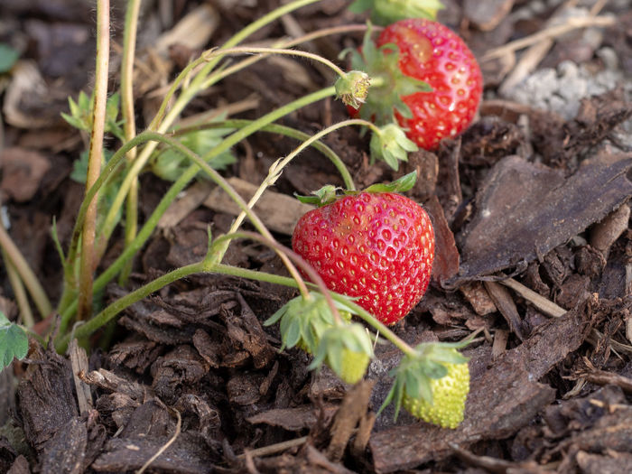 Ripe and green strawberries in a garden Red Harvest Mulch Mulching Season  Sweet Strawberries Strawberry Fruit Agriculture Garden Garden Photography Nature Spring Green Growing Food Organic Red Leaf Close-up Plant Ripe Berry