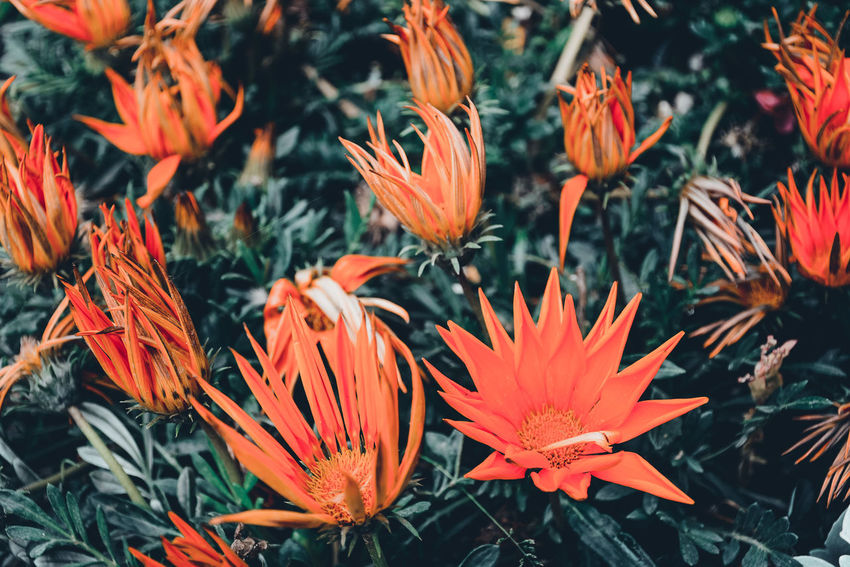 Beauty In Nature Beauty In Nature Blooming Close-up Day Flower Flower Head Flowers Fragility Freshness Growth Nature No People Orange Color Outdoors Petal Plant Roses Sprig