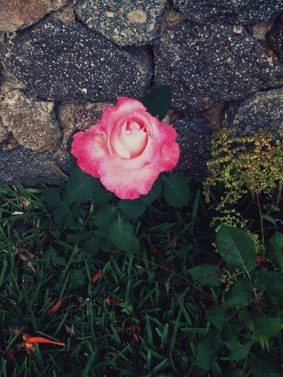 A Rose Pink Rose