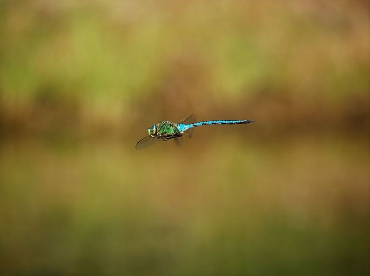 It just stopped in the air for a couple of seconds, two meters away. I just had time to bring my camera to the eye and push the shutter one time... Bustarviejo Dragonfly E-M1 Flying Focus On Foreground Insect Nature Olympus Olympus OM-D EM-1 OM-D OM-D E-M1 Selective Focus SPAIN