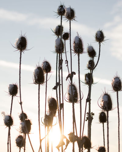 Plant Flower Flowering Plant Growth Nature Fragility Sky Beauty In Nature Vulnerability  No People Close-up Flower Head Focus On Foreground Field Sunlight Snow Thistle Softness Outdoors Chitila