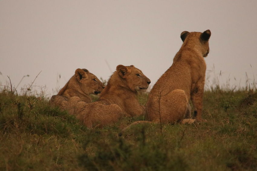 Lions Animal Themes Animals In The Wild Day Field Grass Lion Cub Lioness Lions Mammal Nature No People Outdoors Togetherness
