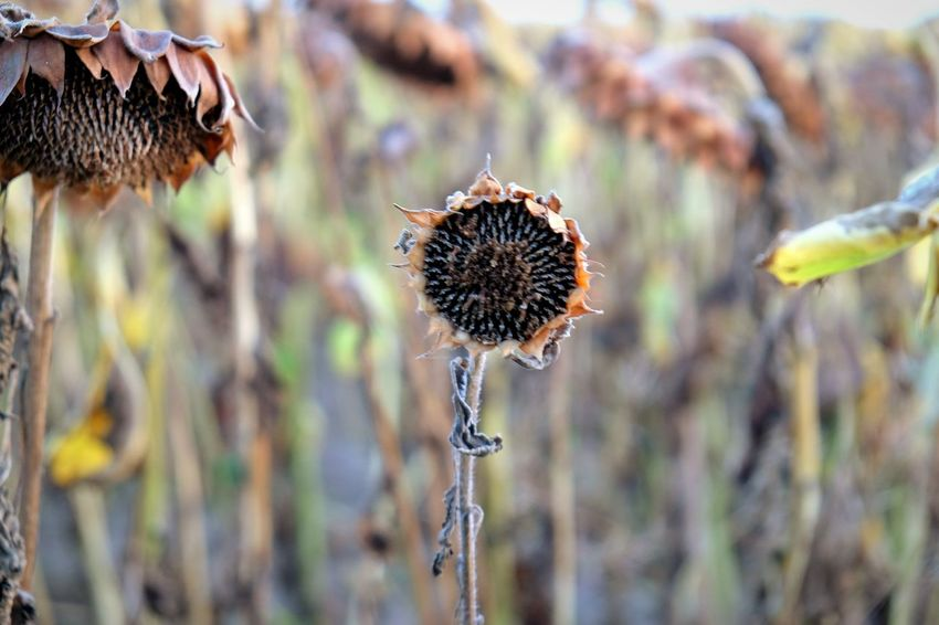 EyeEm Selects Dry Nature Flower Focus On Foreground Plant Wilted Plant Fragility Dead Plant Day Outdoors Dried Plant Thistle Beauty In Nature Grass Close-up No People Growth Flower Head Freshness Nature Camera Sky Happiness Silhouette