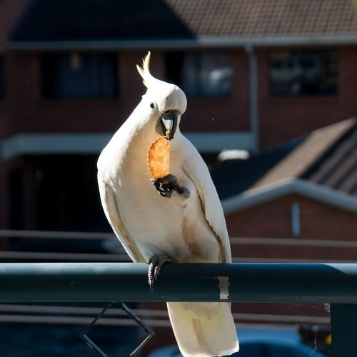 Australian Sulphur-crested Cockatoo (Cacatua galerita), eating a cracker/biscuit standing on a balcony rail. Gosford, New South Wales, Australia. photograph by Geoff Childs. Animal Themes Animal Wildlife Animals In The Wild Architecture Bird Building Exterior Built Structure Close-up Cockatoo, Bird, Animal, Daytime, Cracker, Biscuit, Eating, Feeding, No People, Sulphur-crested Cockatoo, Cacatua Galerita, Coastal Bird,yellow, White, Images, Royalty Free Photo, Picture, Pictures, Gosford, New South Wales, Australia, Geoff Childs, Daylig Day Focus On Foreground Mammal Nature No People One Animal Outdoors Perching