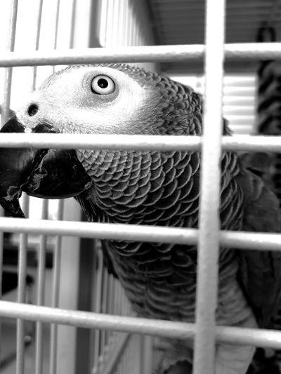 One Animal Pets Indoors  Bird Blackandwhite Close-up Blackandwhite Photography Birds Cage Black And White Friday