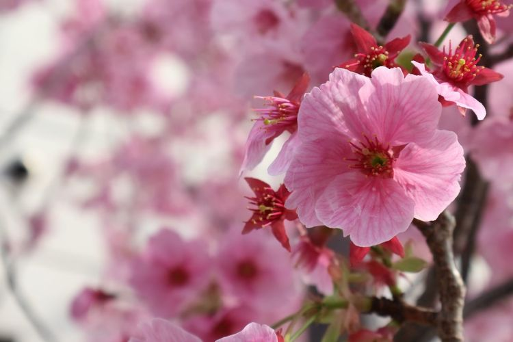 Sakura Flower Flowering Plant Fragility Freshness Plant Vulnerability  Beauty In Nature Pink Color Petal Pollen Close-up No People Springtime Growth Focus On Foreground Day Inflorescence Blossom Flower Head Nature