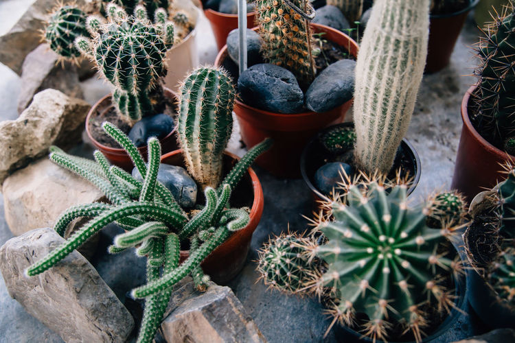 Big cactus in the pots. funny cactus for home decoration. fluffy cactus with long needles.