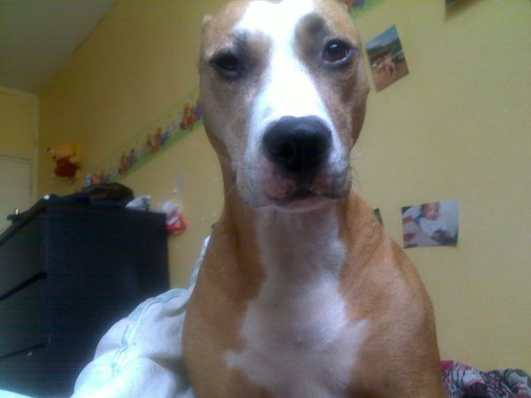 Staffordshire Ma Grosse  Chien Dog