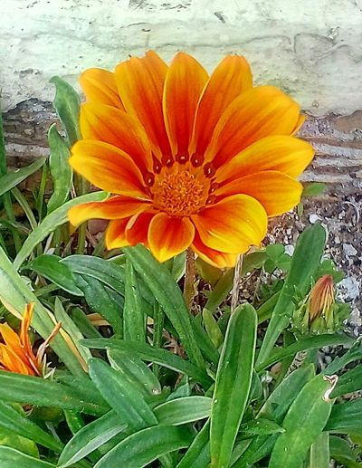 Daisy Flower Head Flower Leaf Petal Yellow Orange Color Close-up Blooming Plant
