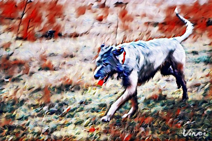 Domestic Animals Nature Outdoors Dog Animals In The Wild Cearnaigh Dogs Of Winter Irish Wolfhound Dogs Of EyeEm Eyes Are Soul Reflection Dogslife Winter 2017 February 2017 How's The Weather Today? Showcase February 2017 A Walk In The Park Take A Walk Winter Vinci App