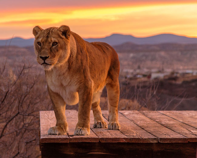 Sunset Animal Wildlife Lion Lioness Majestic Out Of Africa Sky