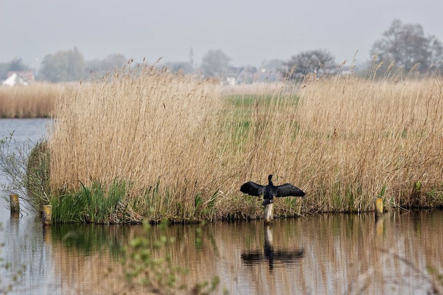 Flashing  Cormorant  Reeds Church Dutch Landscape Walking Around Spring2015 Landscape Looking Back